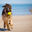 German Shepard pup running on Puerto Rican beach with tennis ball
